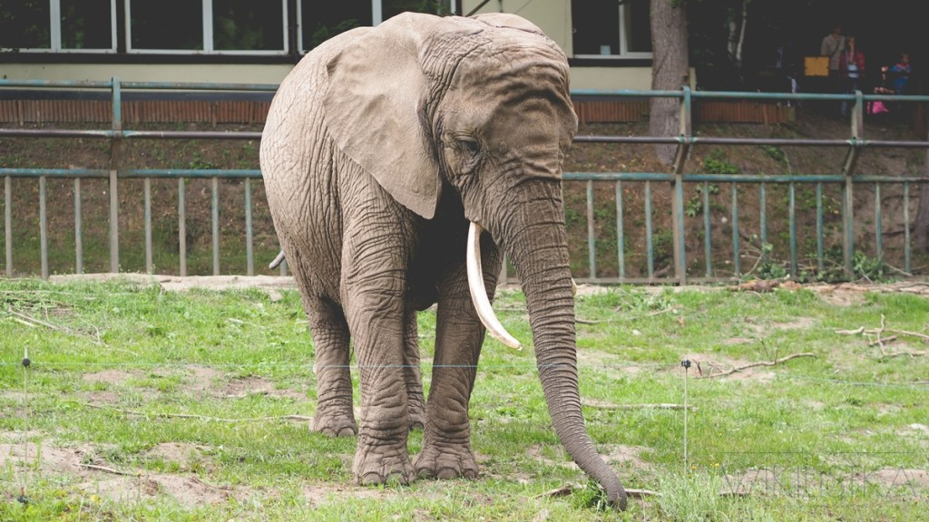 słoń zoo gdańsk