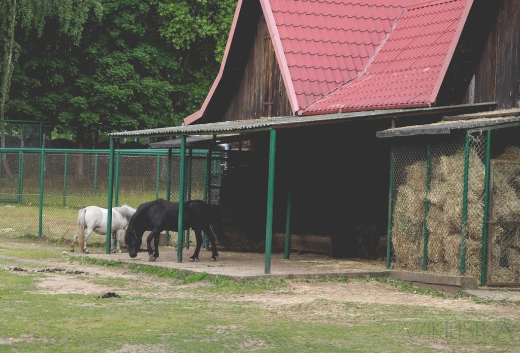 stadnina w zoo