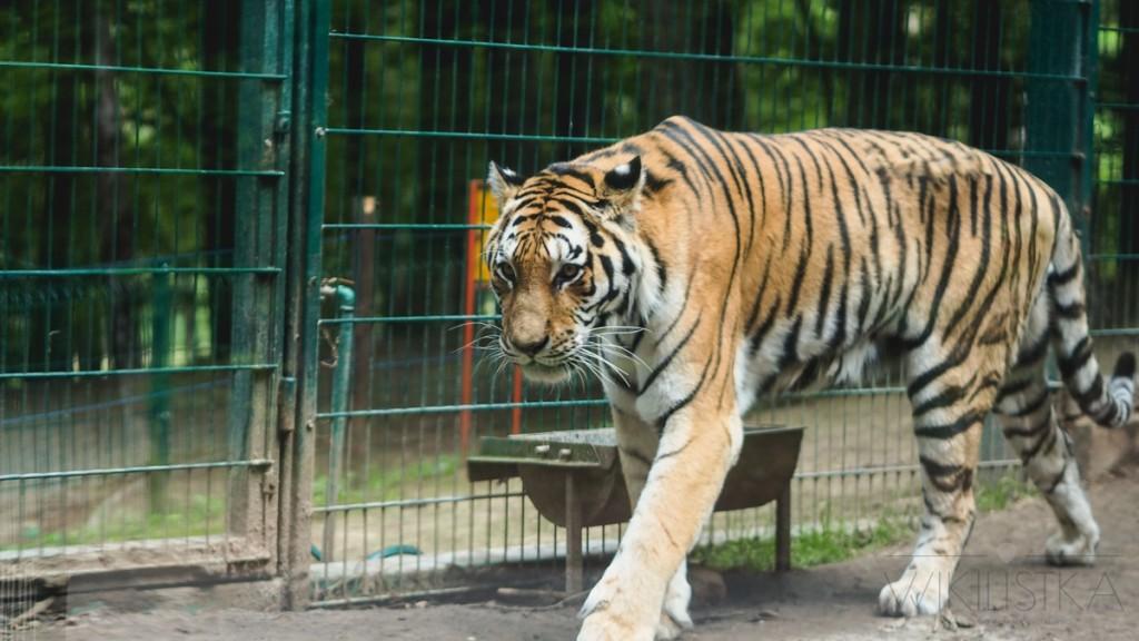 tygrys zoo gdańsk