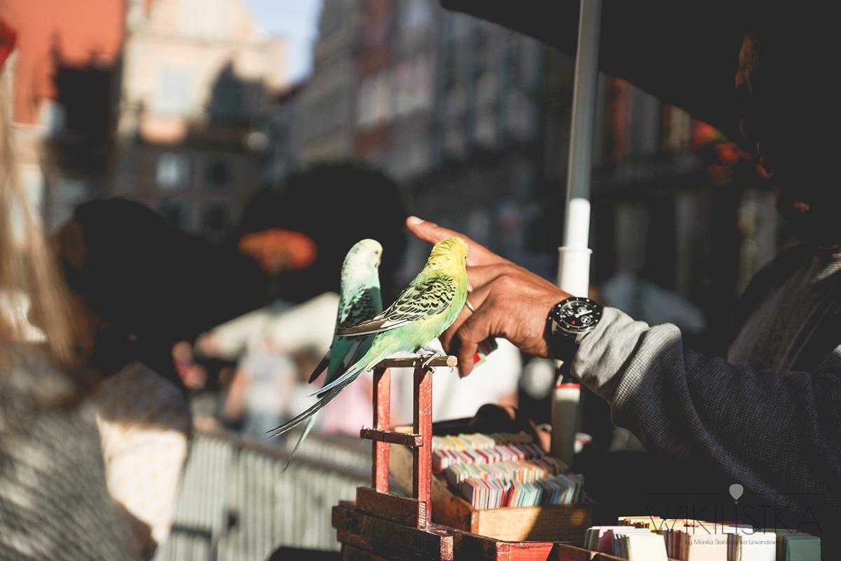 wróżące papugi